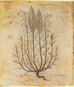 artemisia absinthium pelynas