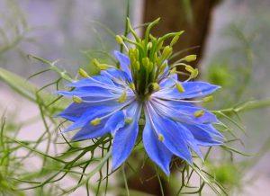 Gėlė nigella sativa
