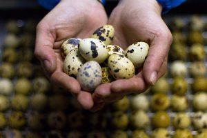 Putpelių kiaušiniai