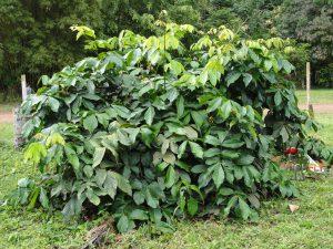 Guaranos augalas (krūmas)