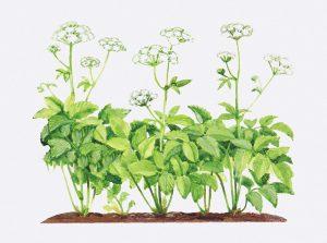 Augalas gašva (žolė)