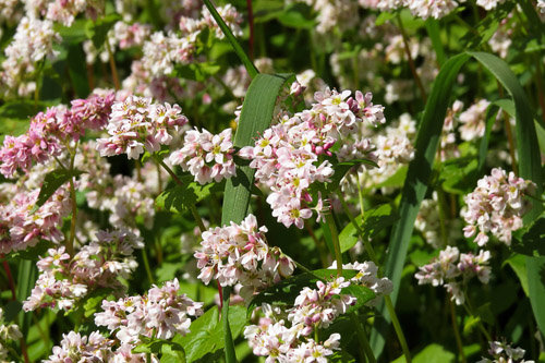 Sėjamasis grikis (Fagopyrum esculentum)